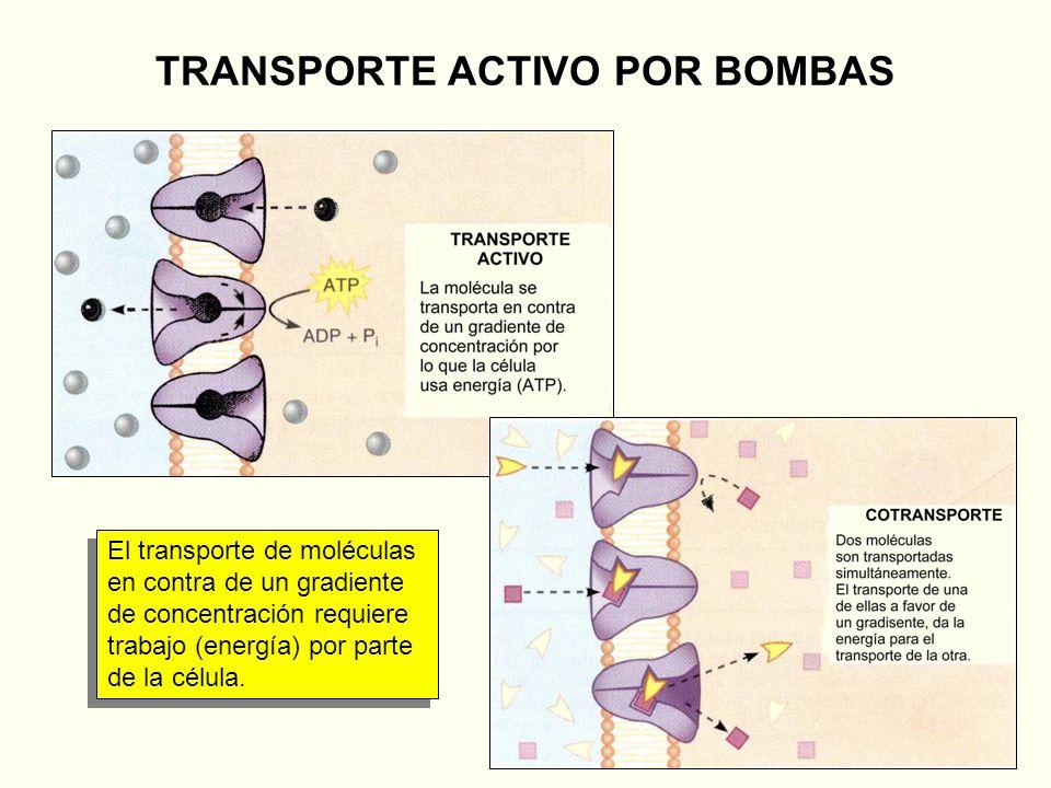 TRANSPORTE ACTIVO POR BOMBAS El transporte de moléculas en contra de un gradiente de concentración requiere trabajo (energía) por parte de la célula.