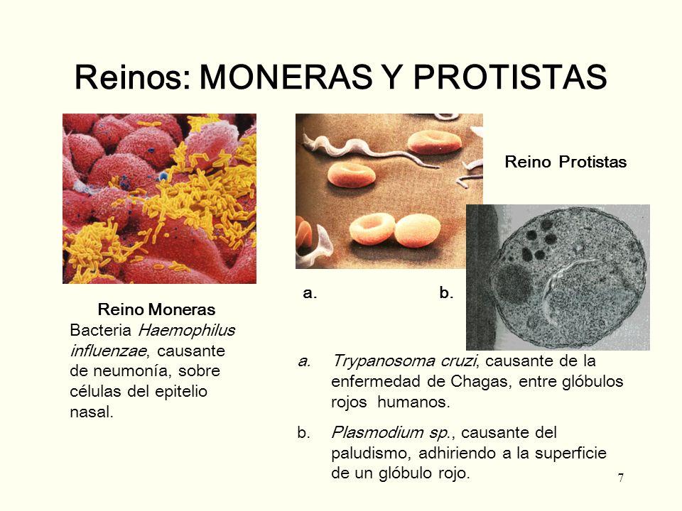 7 Reinos: MONERAS Y PROTISTAS Reino Moneras Bacteria Haemophilus influenzae, causante de neumonía, sobre células del epitelio nasal. Reino Protistas a