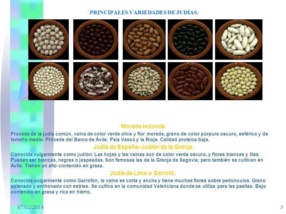 07/02/2014 3 PRINCIPALES VARIEDADES DE JUDÍAS. Morada redonda Procede de la judía común, vaina de color verde oliva y flor morada, grano de color púrp