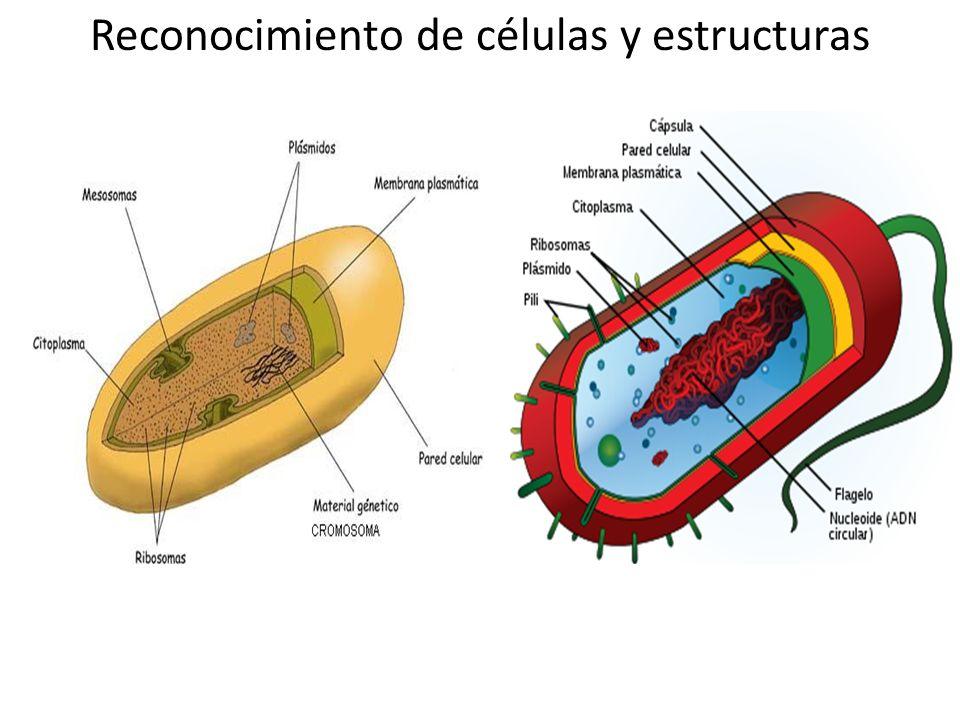 Reconocimiento de células y estructuras