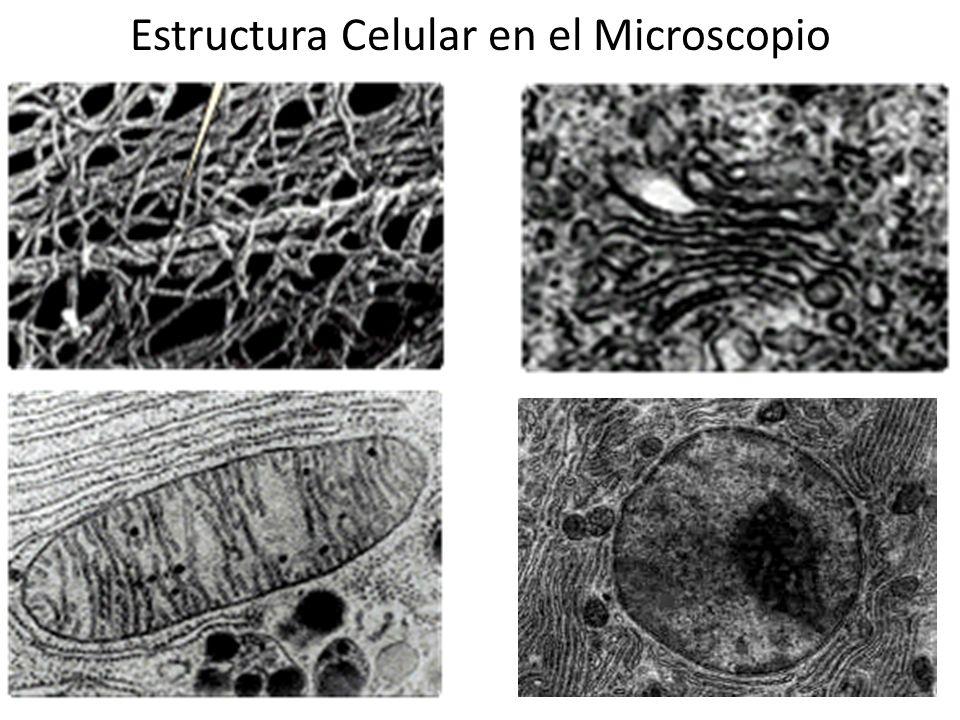 Estructura Celular en el Microscopio