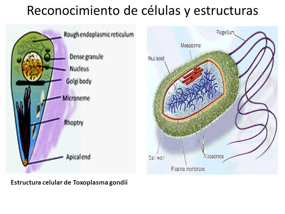 Estructura celular de Toxoplasma gondii Reconocimiento de células y estructuras