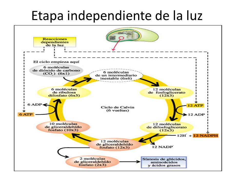 Etapa independiente de la luz