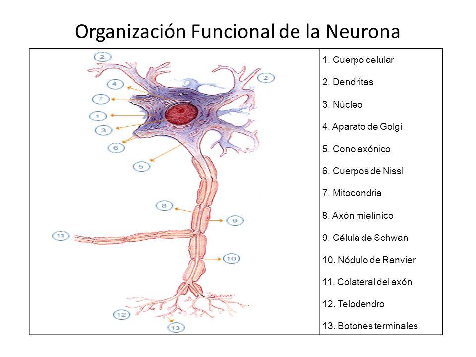 Organización Funcional de la Neurona 1. Cuerpo celular 2. Dendritas 3. Núcleo 4. Aparato de Golgi 5. Cono axónico 6. Cuerpos de Nissl 7. Mitocondria 8
