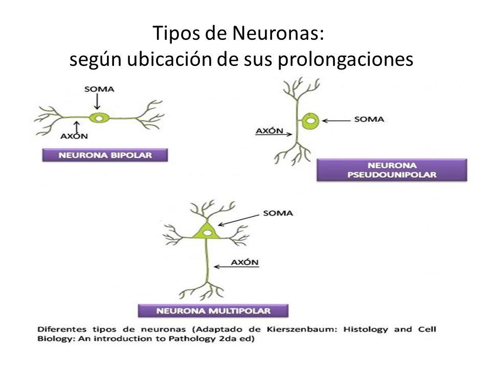 Tipos de Neuronas: según ubicación de sus prolongaciones