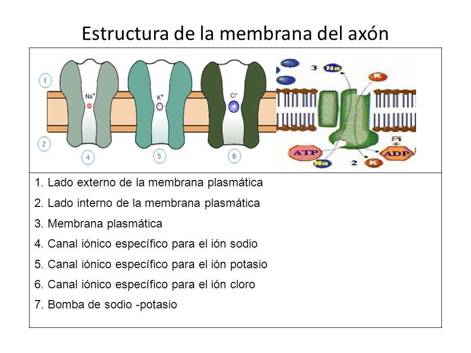 Estructura de la membrana del axón 1. Lado externo de la membrana plasmática 2. Lado interno de la membrana plasmática 3. Membrana plasmática 4. Canal