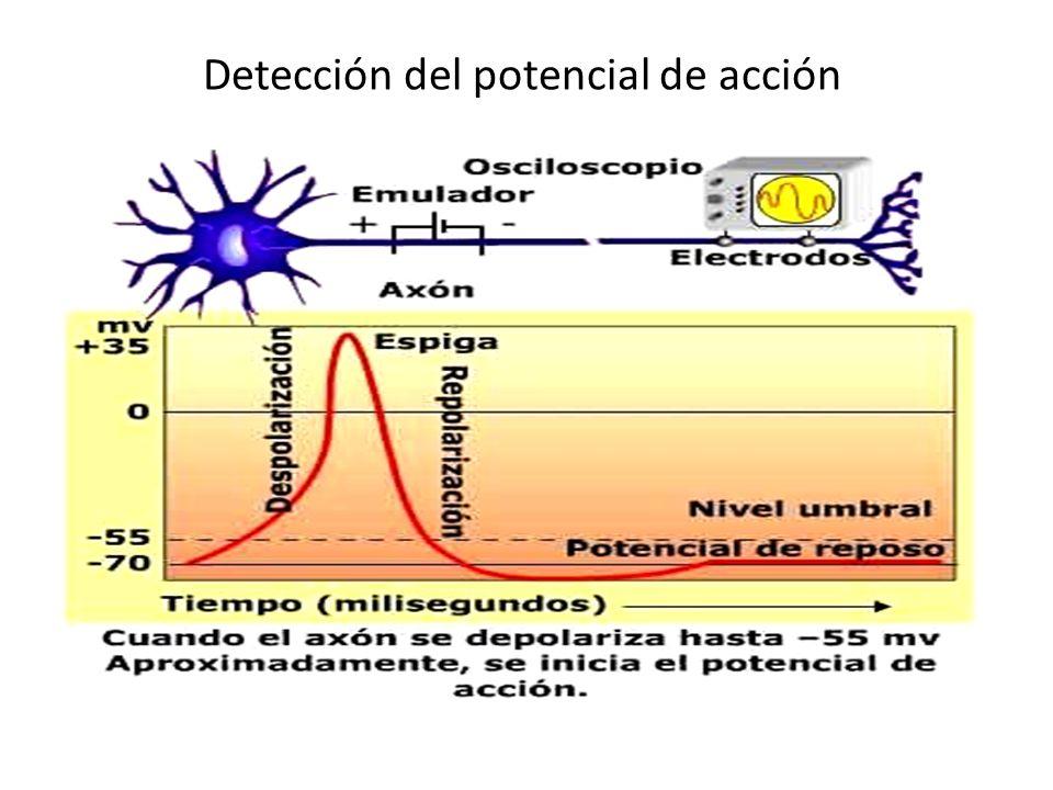 Detección del potencial de acción