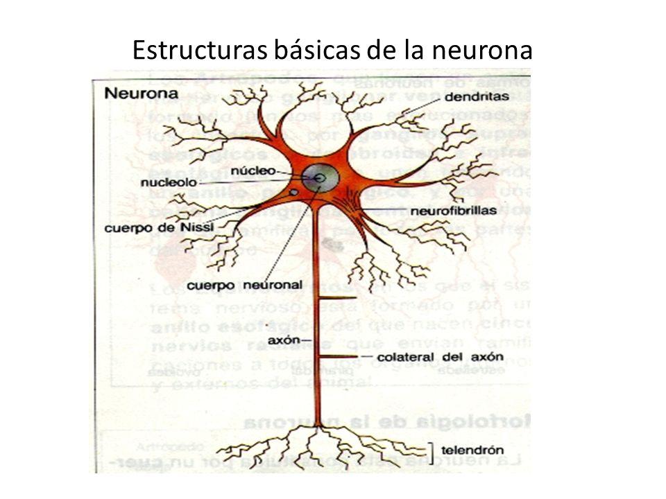 Estructuras básicas de la neurona