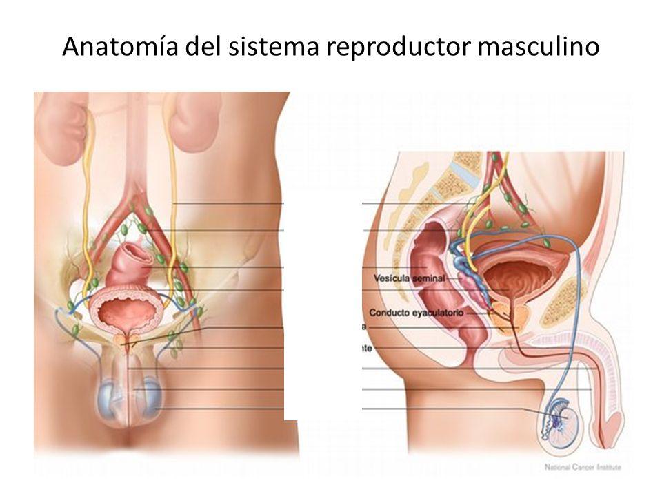Anatomía del sistema reproductor masculino