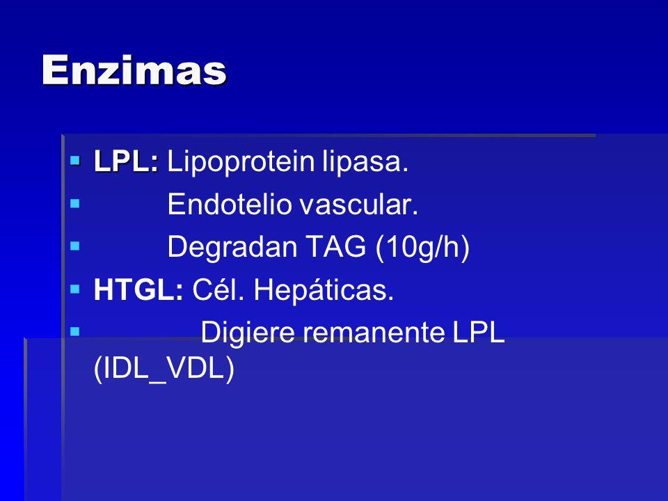 Enzimas LPL: LPL: Lipoprotein lipasa. Endotelio vascular. Degradan TAG (10g/h) HTGL: Cél. Hepáticas. Digiere remanente LPL (IDL_VDL)