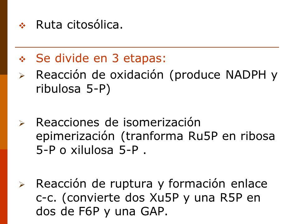 Ruta citosólica. Se divide en 3 etapas: Reacción de oxidación (produce NADPH y ribulosa 5-P) Reacciones de isomerización epimerización (tranforma Ru5P