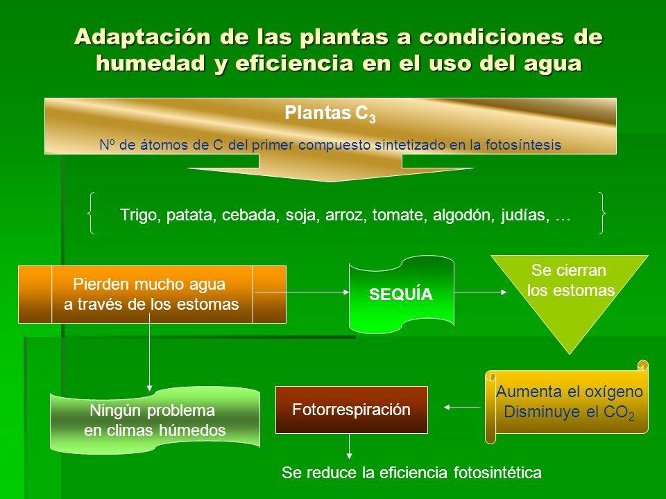Adaptación de las plantas a condiciones de humedad y eficiencia en el uso del agua Plantas C 3 Nº de átomos de C del primer compuesto sintetizado en la fotosíntesis Trigo, patata, cebada, soja, arroz, tomate, algodón, judías, … Pierden mucho agua a través de los estomas Ningún problema en climas húmedos SEQUÍA Se cierran los estomas Aumenta el oxígeno Disminuye el CO 2 Fotorrespiración Se reduce la eficiencia fotosintética