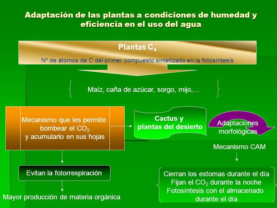 Adaptación de las plantas a condiciones de humedad y eficiencia en el uso del agua Plantas C 4 Nº de átomos de C del primer compuesto sintetizado en la fotosíntesis Maíz, caña de azúcar, sorgo, mijo,… Mecanismo que les permite bombear el CO 2 y acumularlo en sus hojas Evitan la fotorrespiración Mayor producción de materia orgánica Cactus y plantas del desierto Adaptaciones morfológicas Mecanismo CAM Cierran los estomas durante el día Fijan el CO 2 durante la noche Fotosíntesis con el almacenado durante el día