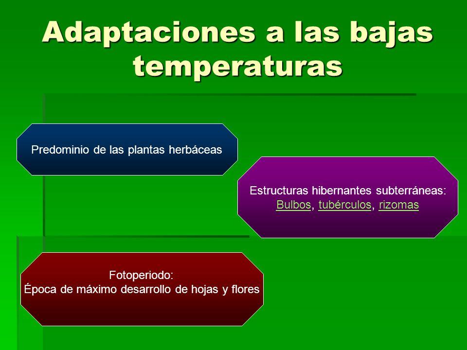 Adaptaciones a las bajas temperaturas Predominio de las plantas herbáceas Estructuras hibernantes subterráneas: BulbosBulbos, tubérculos, rizomastubér