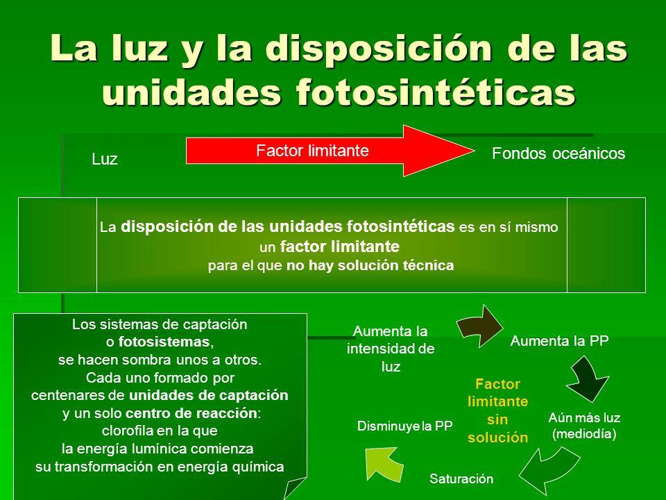 La luz y la disposición de las unidades fotosintéticas Luz Factor limitante Fondos oceánicos La disposición de las unidades fotosintéticas es en sí mi
