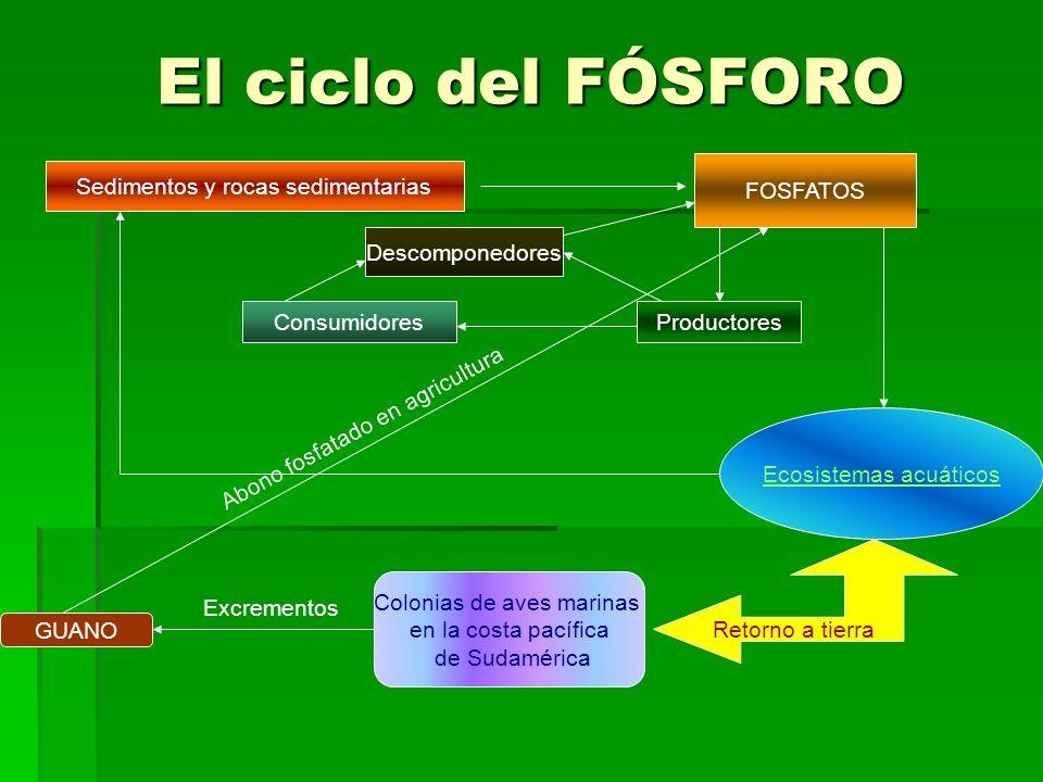 El ciclo del FÓSFORO Sedimentos y rocas sedimentarias FOSFATOS ProductoresConsumidores Descomponedores Ecosistemas acuáticos Retorno a tierra Colonias