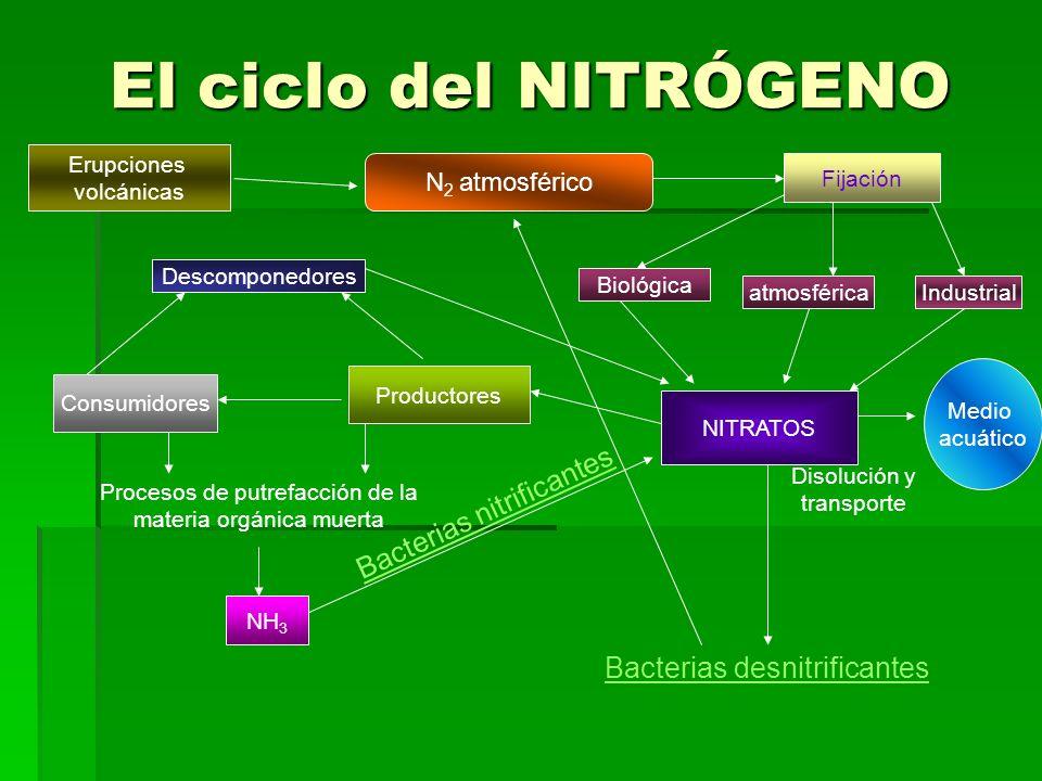 El ciclo del NITRÓGENO N 2 atmosférico Fijación Industrial NITRATOS atmosférica Biológica Productores Consumidores Descomponedores Disolución y transp