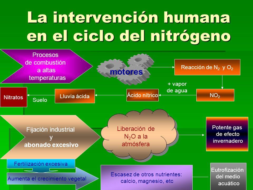 La intervención humana en el ciclo del nitrógeno Procesos de combustión a altas temperaturas motores Reacción de N 2 y O 2 NO 2 + vapor de agua Ácido