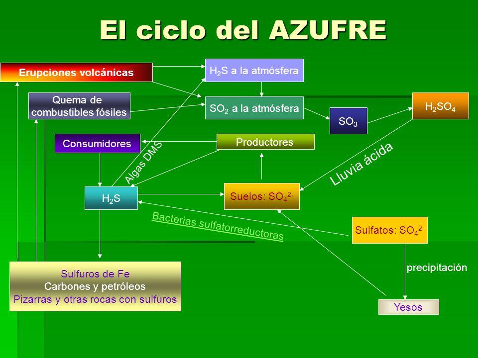 El ciclo del AZUFRE Sulfatos: SO 4 2- precipitación Yesos Suelos: SO 4 2- Productores Consumidores H2SH2S B a c t e r i a s s u l f a t o r r e d u c
