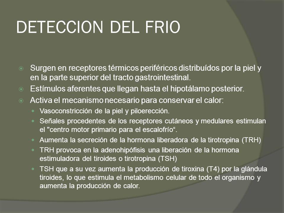 DETECCION DEL FRIO Surgen en receptores térmicos periféricos distribuídos por la piel y en la parte superior del tracto gastrointestinal. Estímulos af