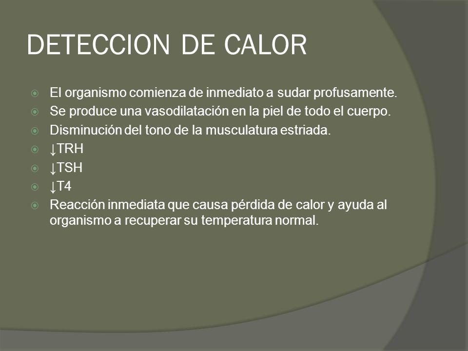 DETECCION DE CALOR El organismo comienza de inmediato a sudar profusamente. Se produce una vasodilatación en la piel de todo el cuerpo. Disminución de