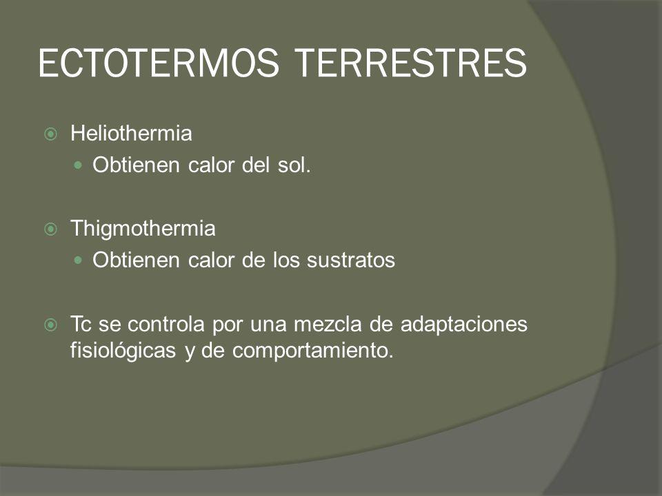 ECTOTERMOS TERRESTRES Heliothermia Obtienen calor del sol. Thigmothermia Obtienen calor de los sustratos Tc se controla por una mezcla de adaptaciones