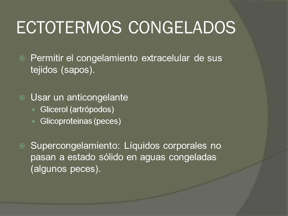 ECTOTERMOS CONGELADOS Permitir el congelamiento extracelular de sus tejidos (sapos). Usar un anticongelante Glicerol (artrópodos) Glicoproteinas (pece