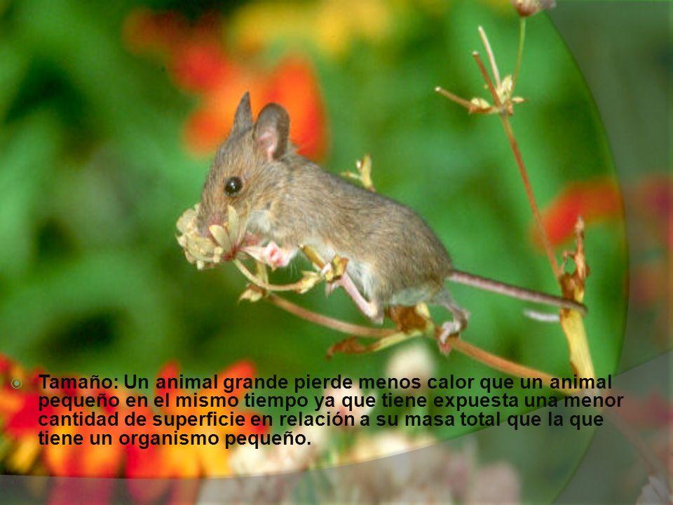 Tamaño: Un animal grande pierde menos calor que un animal pequeño en el mismo tiempo ya que tiene expuesta una menor cantidad de superficie en relació