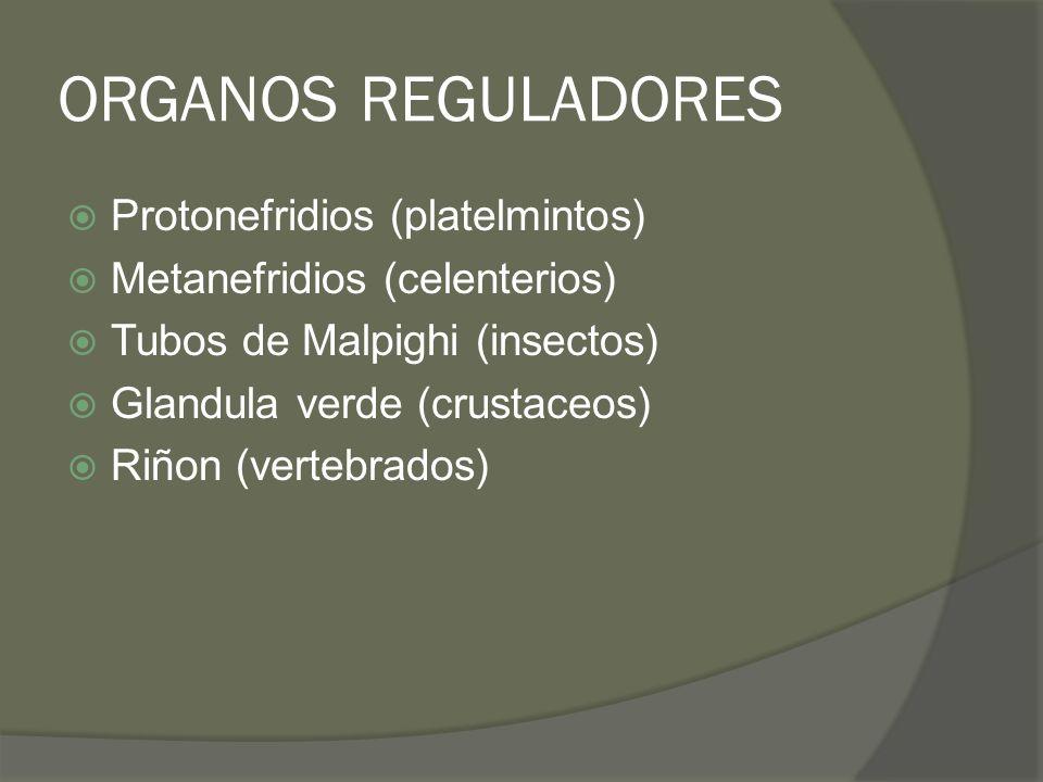 ORGANOS REGULADORES Protonefridios (platelmintos) Metanefridios (celenterios) Tubos de Malpighi (insectos) Glandula verde (crustaceos) Riñon (vertebra