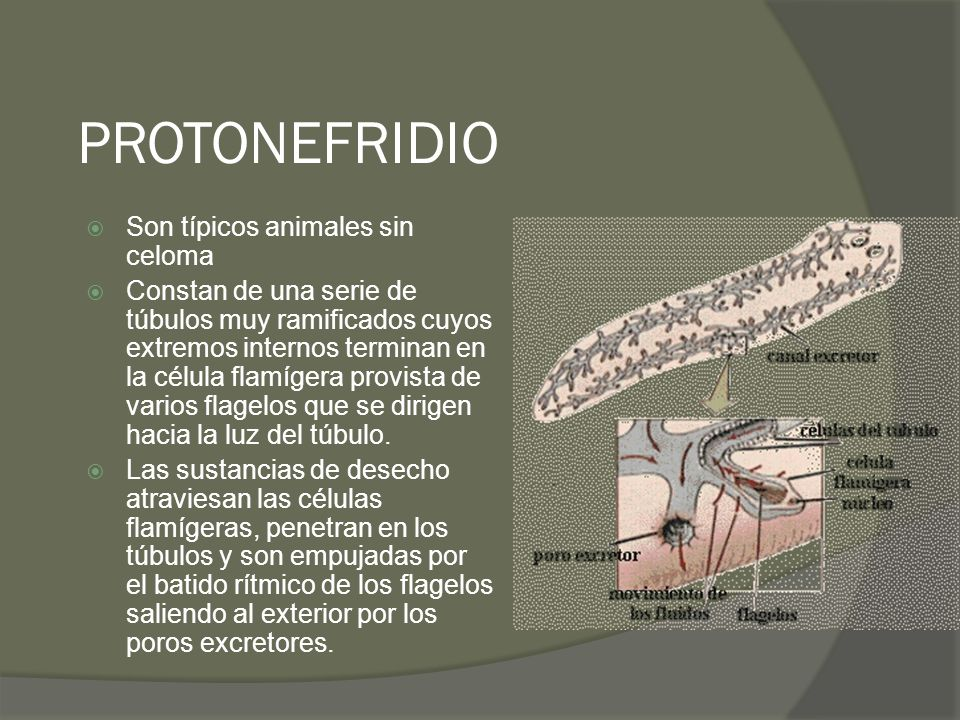 PROTONEFRIDIO Son típicos animales sin celoma Constan de una serie de túbulos muy ramificados cuyos extremos internos terminan en la célula flamígera