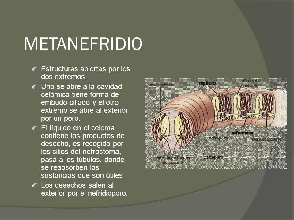 METANEFRIDIO Estructuras abiertas por los dos extremos. Uno se abre a la cavidad celómica tiene forma de embudo ciliado y el otro extremo se abre al e