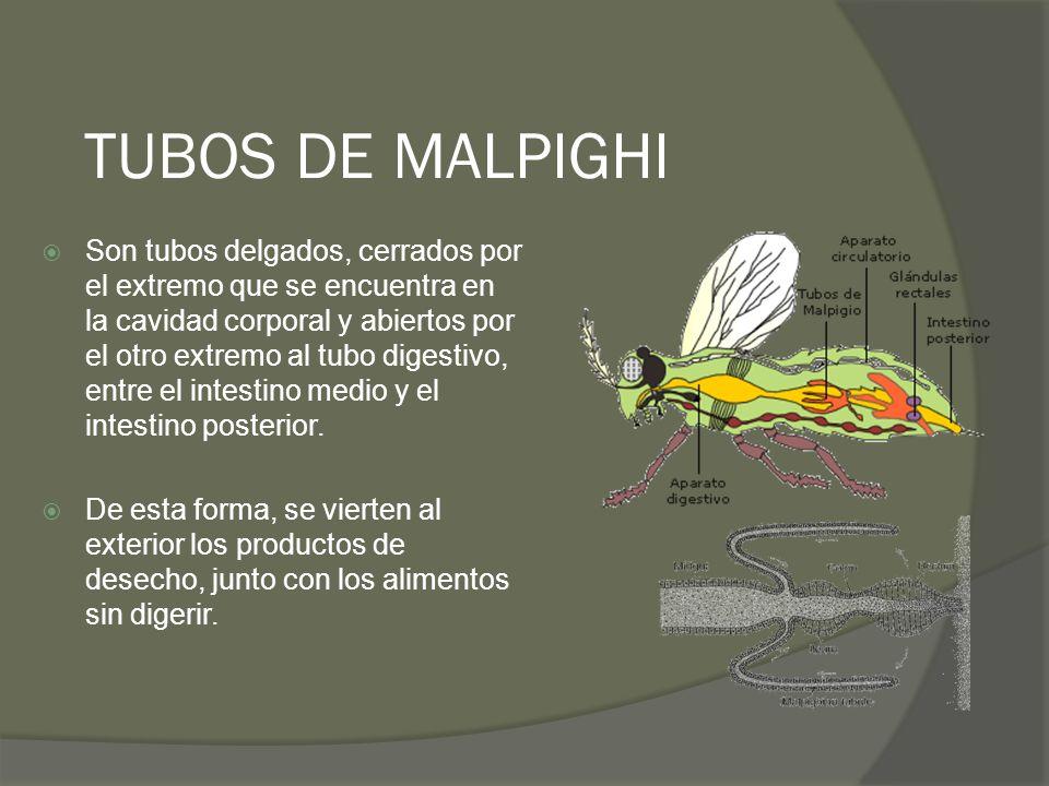 TUBOS DE MALPIGHI Son tubos delgados, cerrados por el extremo que se encuentra en la cavidad corporal y abiertos por el otro extremo al tubo digestivo