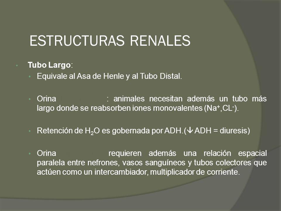 ESTRUCTURAS RENALES Tubo Largo: Equivale al Asa de Henle y al Tubo Distal. Orina hiposmótica : animales necesitan además un tubo más largo donde se re