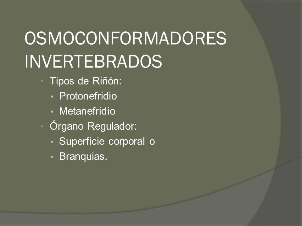 OSMOCONFORMADORES INVERTEBRADOS Tipos de Riñón: Protonefridio Metanefridio Órgano Regulador: Superficie corporal o Branquias.