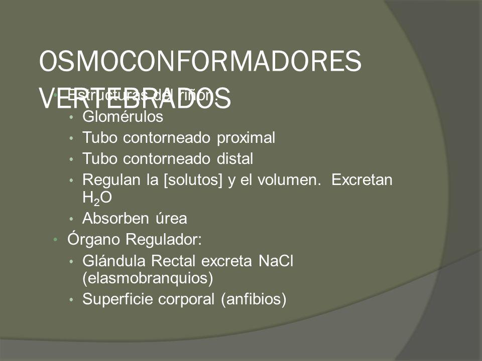 OSMOCONFORMADORES VERTEBRADOS Estructuras del riñón: Glomérulos Tubo contorneado proximal Tubo contorneado distal Regulan la [solutos] y el volumen. E