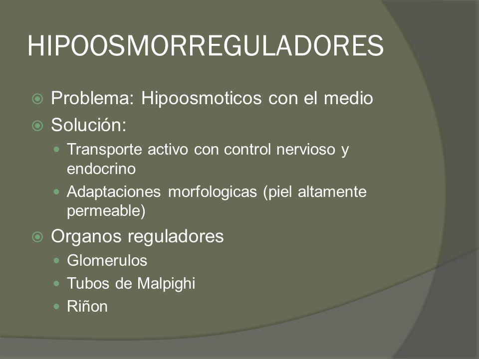 HIPOOSMORREGULADORES Problema: Hipoosmoticos con el medio Solución: Transporte activo con control nervioso y endocrino Adaptaciones morfologicas (piel