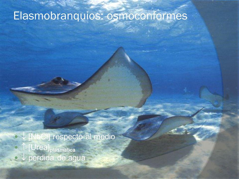 Elasmobranquios: osmoconformes [NaCl] respecto al medio [Urea] plasmatica perdida de agua