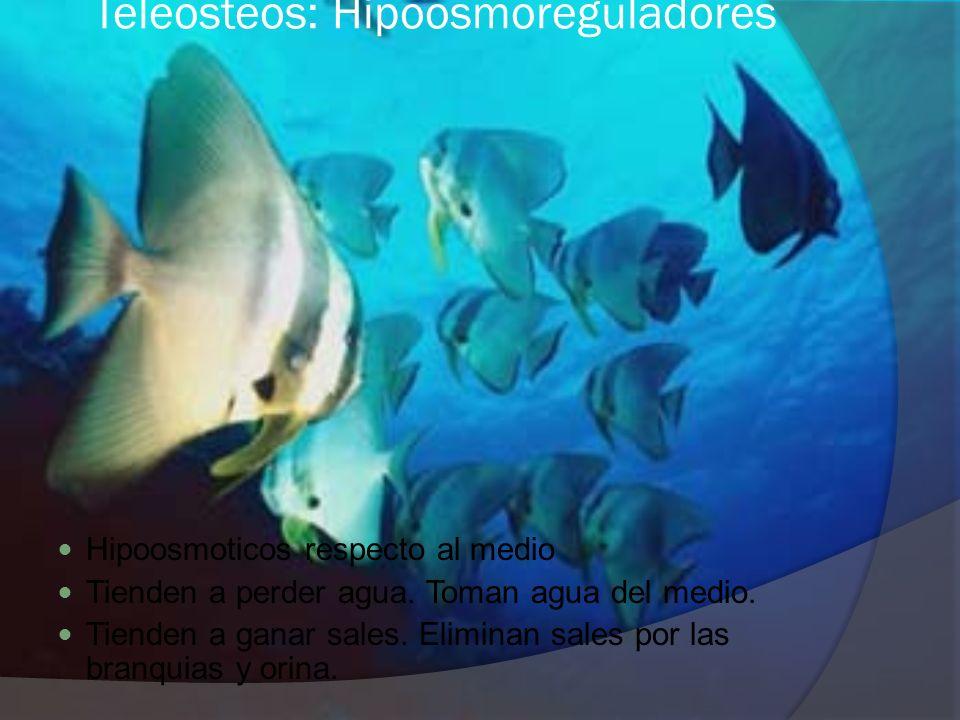 Teleosteos: Hipoosmoreguladores Hipoosmoticos respecto al medio Tienden a perder agua. Toman agua del medio. Tienden a ganar sales. Eliminan sales por