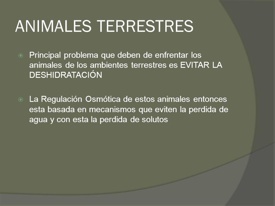 ANIMALES TERRESTRES Principal problema que deben de enfrentar los animales de los ambientes terrestres es EVITAR LA DESHIDRATACIÓN La Regulación Osmót