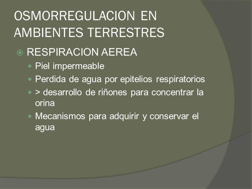 OSMORREGULACION EN AMBIENTES TERRESTRES RESPIRACION AEREA Piel impermeable Perdida de agua por epitelios respiratorios > desarrollo de riñones para co