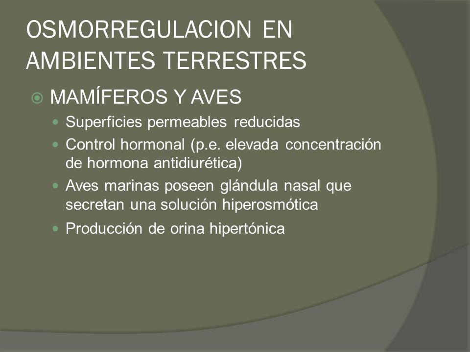 OSMORREGULACION EN AMBIENTES TERRESTRES MAMÍFEROS Y AVES Superficies permeables reducidas Control hormonal (p.e. elevada concentración de hormona anti