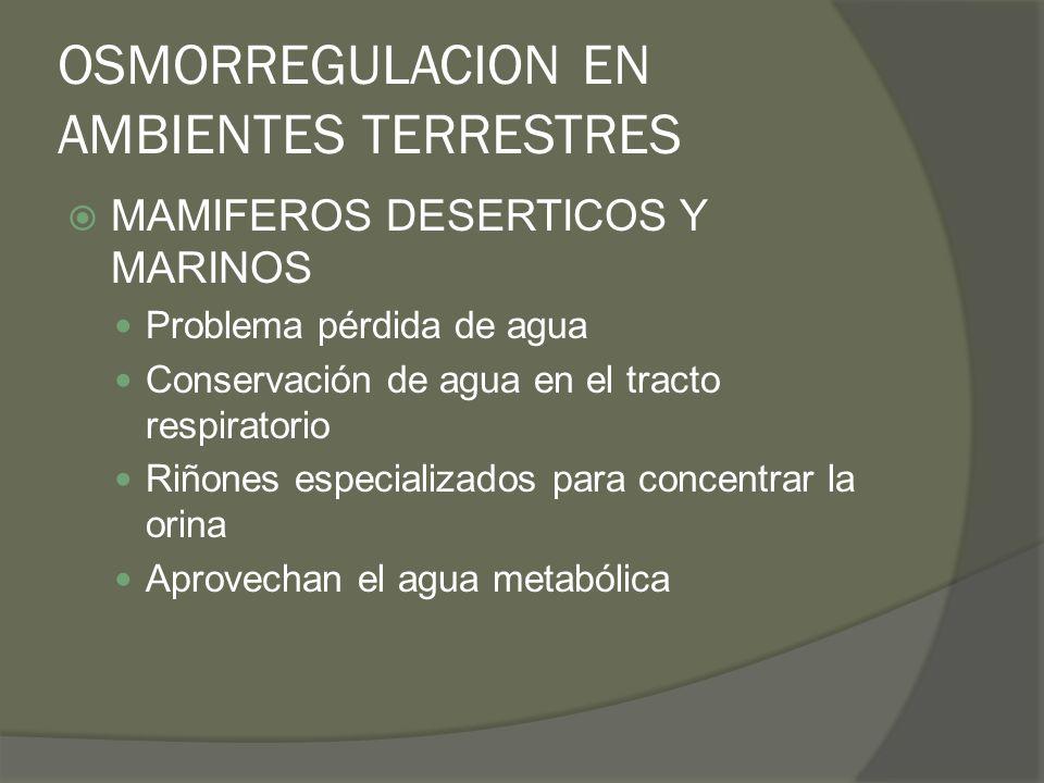 OSMORREGULACION EN AMBIENTES TERRESTRES MAMIFEROS DESERTICOS Y MARINOS Problema pérdida de agua Conservación de agua en el tracto respiratorio Riñones