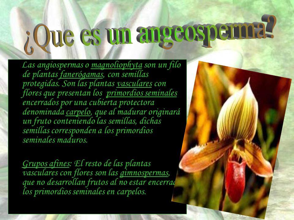 Las angiospermas o magnoliophyta son un filo de plantas fanerógamas, con semillas protegidas. Son las plantas vasculares con flores que presentan los