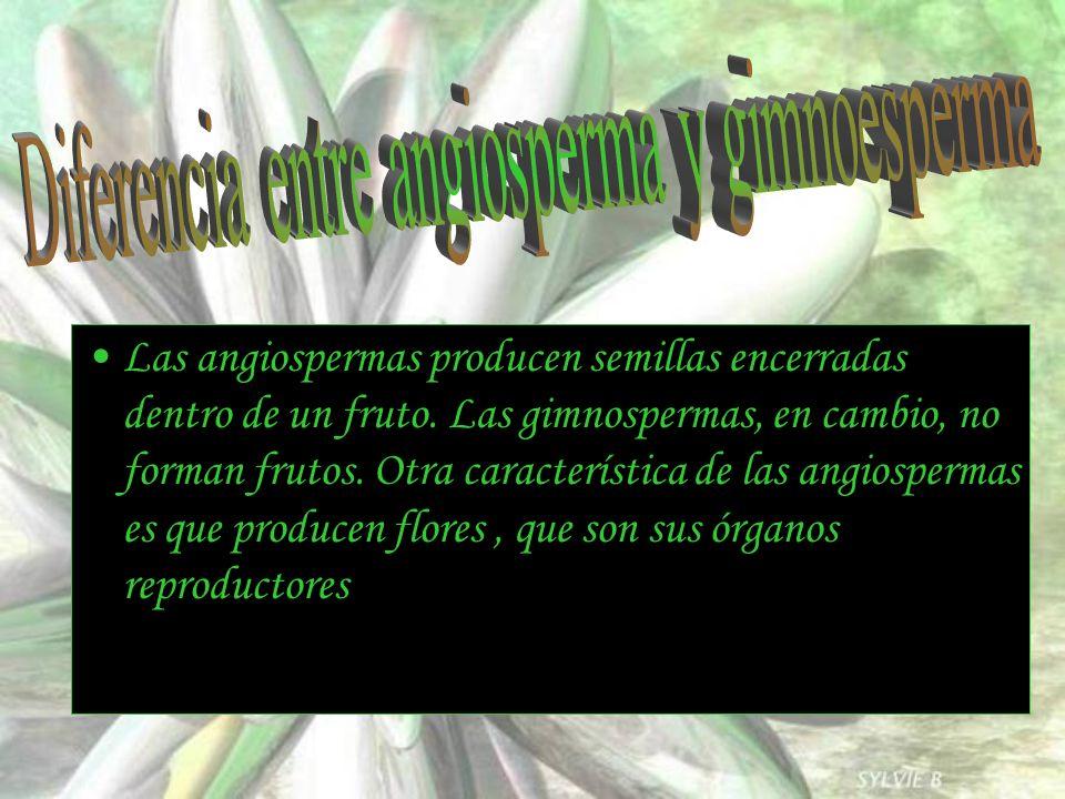 Las angiospermas producen semillas encerradas dentro de un fruto. Las gimnospermas, en cambio, no forman frutos. Otra característica de las angiosperm