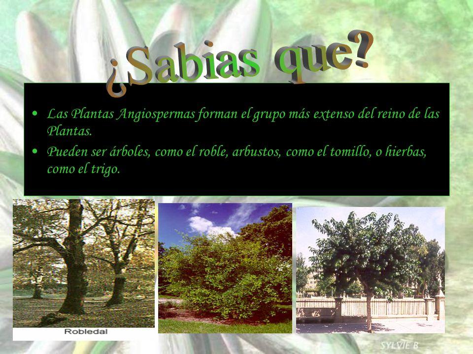Las Plantas Angiospermas forman el grupo más extenso del reino de las Plantas. Pueden ser árboles, como el roble, arbustos, como el tomillo, o hierbas