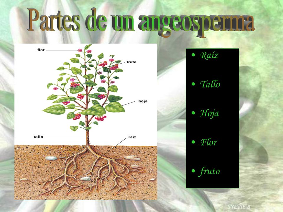Raíz Tallo Hoja Flor fruto