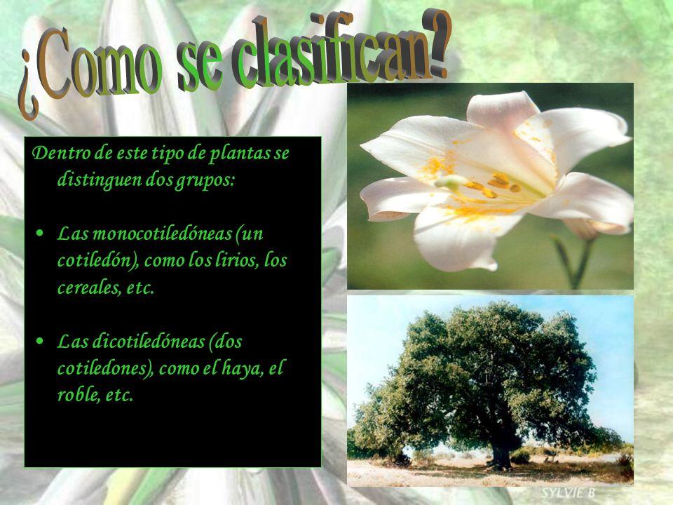 Dentro de este tipo de plantas se distinguen dos grupos: Las monocotiledóneas (un cotiledón), como los lirios, los cereales, etc. Las dicotiledóneas (
