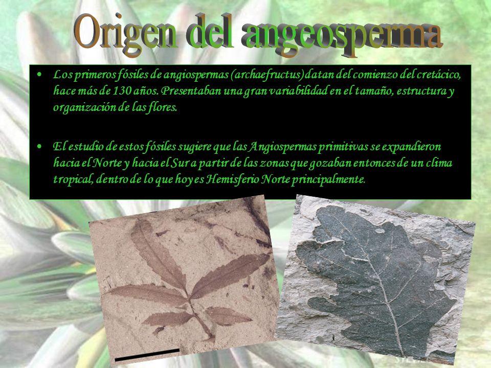 Los primeros fósiles de angiospermas (archaefructus) datan del comienzo del cretácico, hace más de 130 años. Presentaban una gran variabilidad en el t