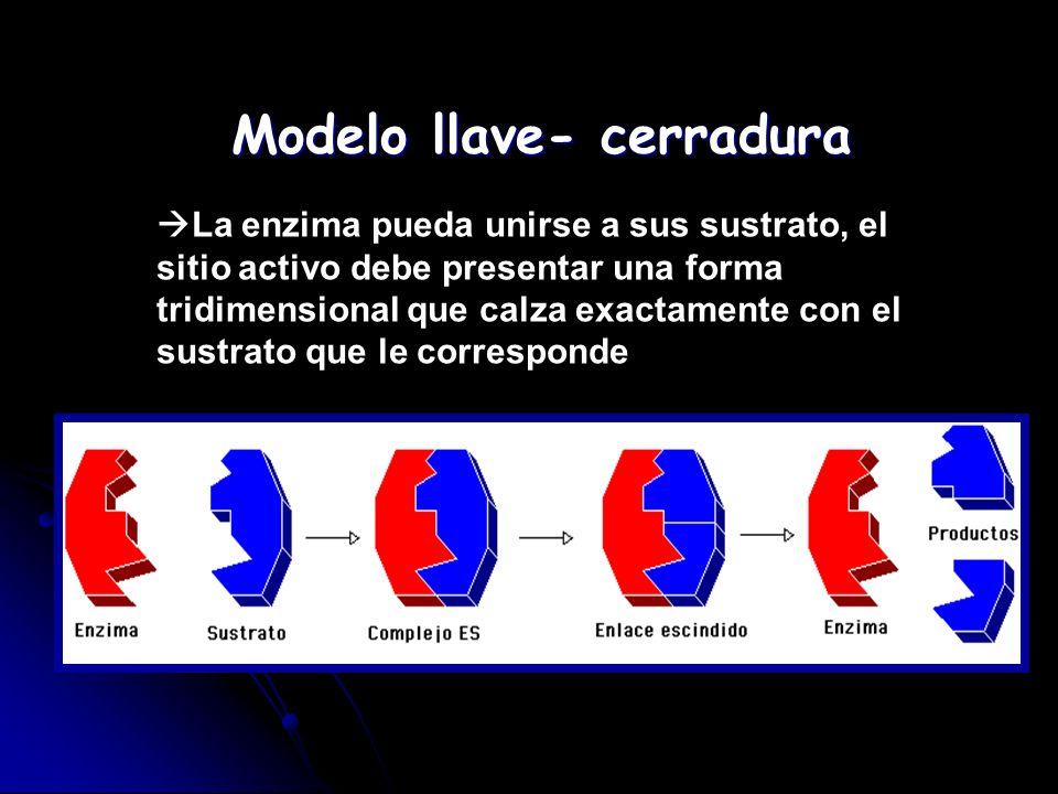 Modelo llave- cerradura La enzima pueda unirse a sus sustrato, el sitio activo debe presentar una forma tridimensional que calza exactamente con el su