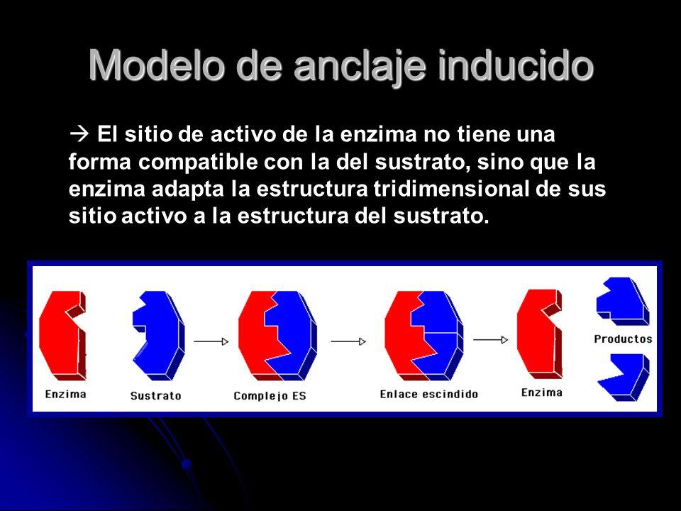Modelo de anclaje inducido El sitio de activo de la enzima no tiene una forma compatible con la del sustrato, sino que la enzima adapta la estructura